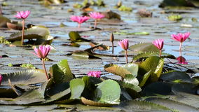 Pink water lily flowers stock video