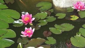 Pink water-lily. Flowers and leaves of the pink water-lily stock footage