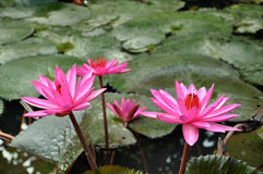 Pink water lily flowers and leaves Stock Photos