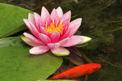 Pink Water Lily in a Goldfish Pond Stock Photos