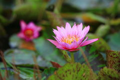 Pink water lily. The image of pink water lily flower Royalty Free Stock Photo
