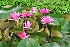 Pink Water Lily. Image of a pink hardy water lily species with lilypads and a single blossom Royalty Free Stock Image