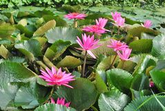 Pink Water Lily. Image of a pink hardy water lily species with lilypads and a single blossom Stock Images