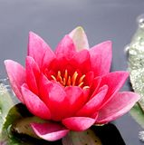 Pink water-lily. Image of a water lilly pads reflection on water Royalty Free Stock Photography