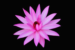 Pink Water lily isolated  on black Royalty Free Stock Photos