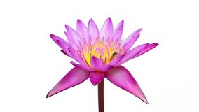 Pink water lily on isolated stock video footage