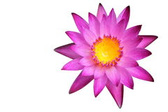 Pink water lily isolated on white background Royalty Free Stock Photography
