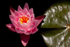 Pink water lily and its leaf Royalty Free Stock Image
