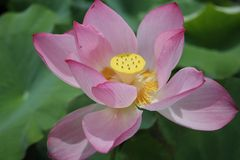 A pink water lily. This is a kind of water lily Royalty Free Stock Photos