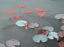 Pink water lily and koi fish Royalty Free Stock Image