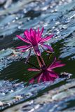 Pink Water Lily in the lake Stock Photography