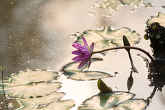 Pink water lily in the lake under the twilight Royalty Free Stock Photos