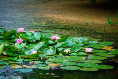 Pink water lily Royalty Free Stock Images