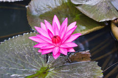 Pink Water Lily. Stock Photo