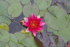 Pink water lily. Pink water-lily with leaves in a horizontal format stock photo