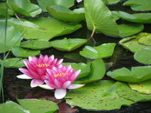 Pink Water Lily & Lily Pads. A pond with pink Water Lilies and Lily Pads Royalty Free Stock Photography
