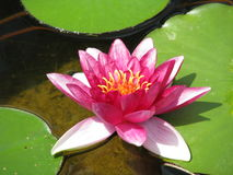 Pink Water Lily & Lily Pads Stock Images
