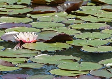 Pink water lily and lily pads on a lake Royalty Free Stock Photo