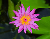 Pink water lily, lotus Stock Images