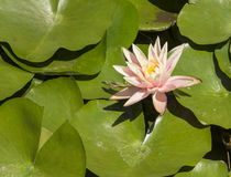 Pink water lily / lotus Royalty Free Stock Photo