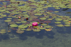 Pink water lily / lotus Royalty Free Stock Images