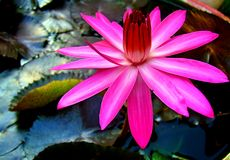 Pink water lily. Lotus flower blooming Stock Photo