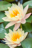 Pink water lily or lotus flower. Royalty Free Stock Photography
