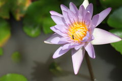 Pink water lily or lotus flower on a pound Stock Photos