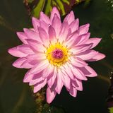 Pink water lily or lotus flower Royalty Free Stock Photo