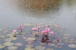 Pink water lily and lotus in lake Royalty Free Stock Photo