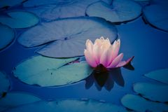 Pink water lily (lotus) reflection. Water Lily during sunset, with leaves Royalty Free Stock Photography