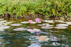 The pink water lily stock photography