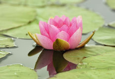 Pink Water-lily - Nymphaea Stock Photo