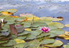 Pink water lily nymphaea Stock Photo