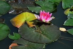 Pink water lily Nymphaea flower in in garden pond during autumn season with green and yellow leaves around Stock Images