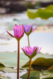 Pink water lily Nymphaea Masaniello among green leaves Royalty Free Stock Images