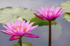 Pink water lily Nymphaea Masaniello among green leaves Royalty Free Stock Image