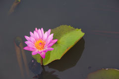 Pink water lily Nymphaea Masaniello among green leaves Royalty Free Stock Photography