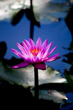 pink water lily Nymphaea Masaniello among green leaves Stock Images