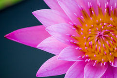 Pink water lily Nymphaea Masaniello among green leaves Stock Photo