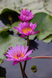 Pink water lily Nymphaea Masaniello among green leaves Stock Photography