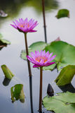 Pink water lily Nymphaea Masaniello among green leaves Stock Photos