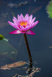 Pink water lily Nymphaea Masaniello among green leaves Stock Image
