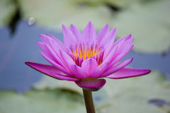 Pink water lily Nymphaea Masaniello among green leaves Royalty Free Stock Photos