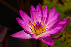 Pink water lily. A pink water lily - Nymphaea odorata above lily pads floating in a pond on an early fall morning Stock Photos