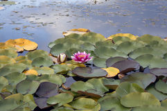 Pink water lily nymphaea in the pond Stock Photography