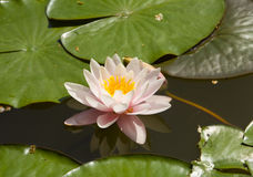 Pink water lily Stock Photography