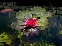 Pink water lily. Royalty Free Stock Photo
