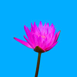 Pink water lily or pink lotus flower Royalty Free Stock Photos
