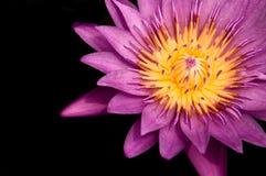 Pink Water Lily, Pink Lotus, macro shot. Macro shot of full bloom pink star water lily Royalty Free Stock Photos